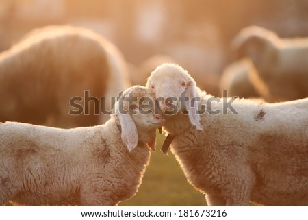 Cuddling time for two young lambs standing face to face in the gentle light of the golden hour. Landscape format - stock photo