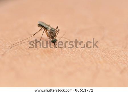 Culex mosquito sucking blood - stock photo