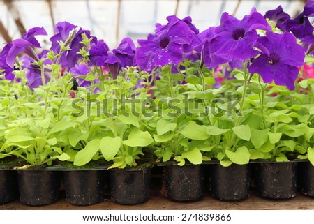 Cultivar annual Petunia flowers seedlings in plastic flowerpots in the modern greenhouse in spring