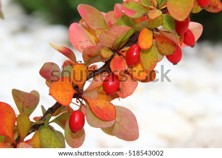 "Cultivar Thunbergs barberry (Berberis thunbergii ""Golden Rocket"") with ripe berries in the autumn rockery"