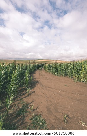 Cultivated field corn in bright summer day in countryside - retro vintage look