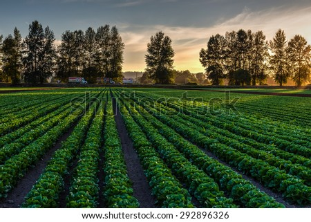 Cultivated field of lettuce growing in rows along the contour line in sunset at Kent, Washington State, USA. Agricultural composition.