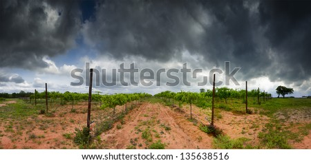 Cultivated grape vines in an open field on a cloudy day in Texas - stock photo