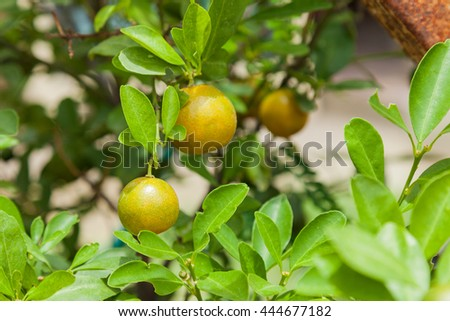 Cultivation green lemon hanging on tree