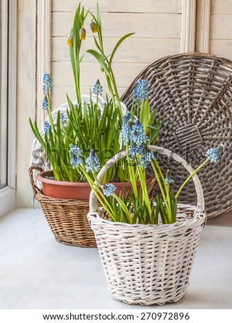 Cultivation muscari and fritillaria in pots and in the rural baskets on the balcony window - stock photo