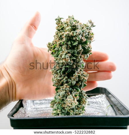 cultivation of cannabis, a large plant in a pot bud, harvesting