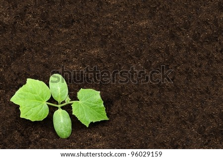 Cultivation of cucumber sprouts - stock photo