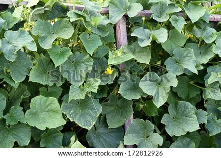 Cultivation of cucumbers - stock photo