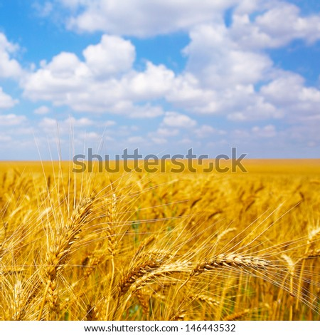 cultivation of different varieties of wheat, wheat field - stock photo