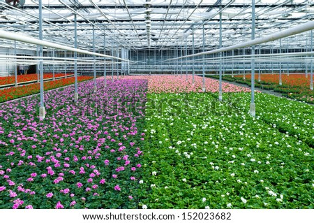 cultivation of geranium flowers in a greenhouse in Klazienaveen, netherlands