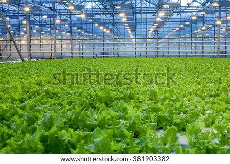 Cultivation of green salad in big industrial greenhouse - stock photo