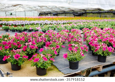 Cultivation of pink, purple, yellow different flowers and geraniums in a Greenhouse - stock photo