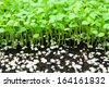 Cultivation of plants in a greenhouse for transplanting  - stock photo