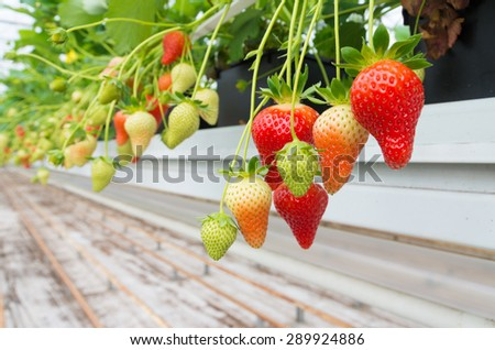 cultivation of strawberries in a commercial greenhouse - stock photo