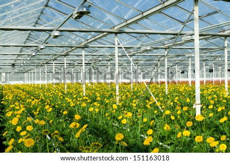 cultivation of yellow daisy flowers in a greenhouse in Klazienaveen, netherlands