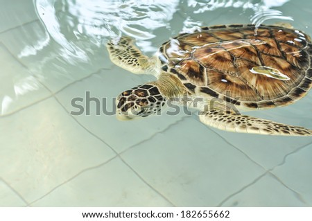 Cultured sea turtle in pool  - stock photo