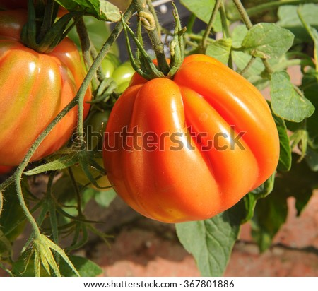 Cuore di Bue Tomato in a Greenhouse in the Vegetable Garden at Rosemoor, Devon, England, UK - stock photo