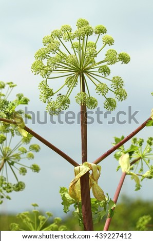 Curative Archangelica officinalis - stock photo
