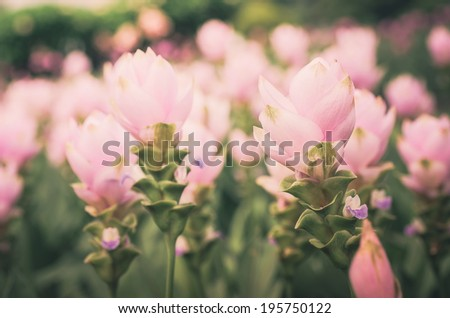 Curcuma alismatifolia or Siam tulip or Summer tulip in the garden nature Thailand vintage - stock photo