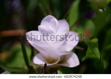 Curcuma parviflora wall white angel flower stock photo 682874248 curcuma parviflora wall white angel flower white flower white siam tulip white mightylinksfo