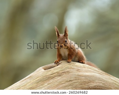 Cure Red Squirrel on log on Brownsea Island, Dorset - stock photo