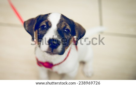 curios jack russel watching at the camera - stock photo