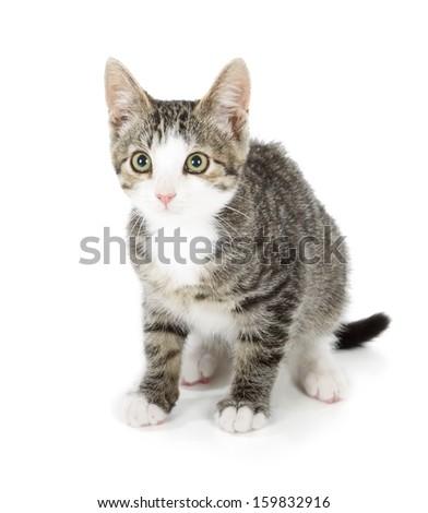 curiosity kitten isolated on white background - stock photo