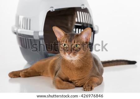 Curious Abyssinian cat and box. Long Tail. White background with reflection. - stock photo