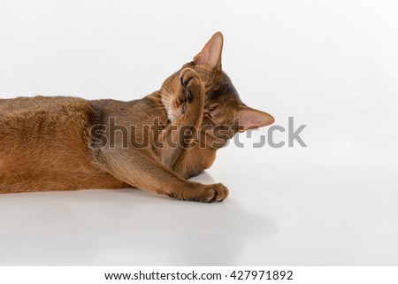 Curious Abyssinian cat lying on ground and hiding face. Isolated on white background
