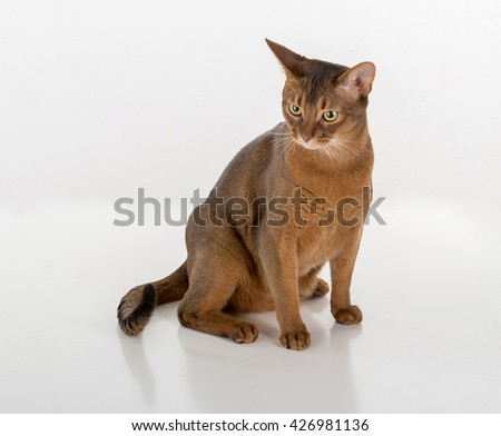 Curious Abyssinian cat sitting on the ground. White background with reflection. - stock photo