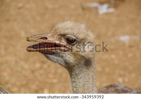 Curious african ostrich walking at the ostrich farm. Ostrich Farm - stock photo