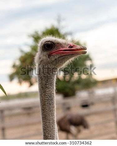 Curious african ostrich walking in the paddock at the ostrich farm. Ostrich Farm