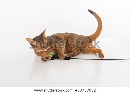 Curious and Angry Abyssinian cat lying on the ground and playing with toy. Isolated on white background - stock photo
