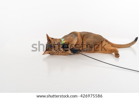 Curious and Angry Abyssinian cat lying on the ground and playing with toy. White background with reflection. - stock photo