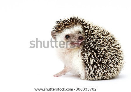 curious and comic african pygmy hedgehog baby half masked in white background