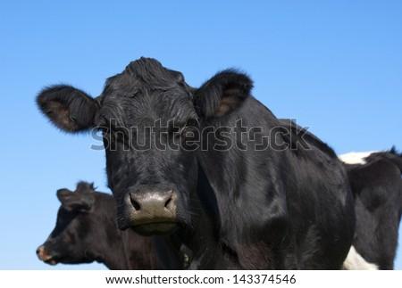 Curious Angus Cow - stock photo