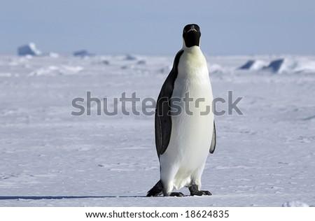 Curious Antarctic penguin - stock photo