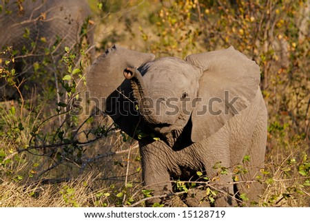 Curious baby African elephant (Loxodonta africana), Kruger National Park, South Africa - stock photo