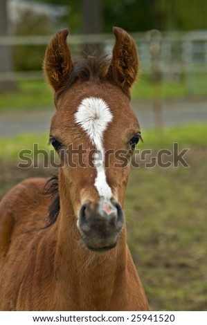 Curious baby brown horse - stock photo