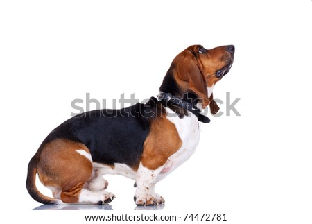 curious Basset hound, in front of white background, looking at something - stock photo