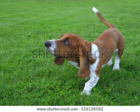 Curious Basset Hound Puppy - stock photo