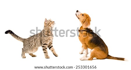 Curious beagle dog  and  cat Scottish Straight together isolated on white background - stock photo