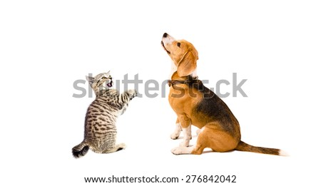 Curious Beagle dog and playful kitten Scottish Straight together isolated on white background - stock photo