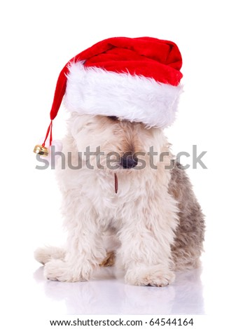 curious bearded collie puppy seated on a white background, wearing a santa cap