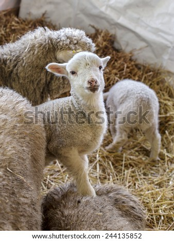 curious beautiful not shorn sheep with lamb with hay in a pen for domestic farm animals. Selective focus with shallow depth of field. As background for design with animals - stock photo