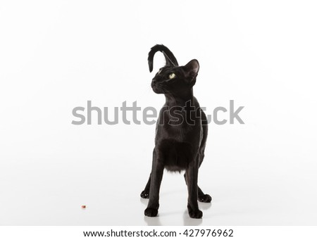 Curious Black Oriental Shorthair Cat Sitting on White Table with Reflection. White Background. Looking Up. Food on the Ground. - stock photo