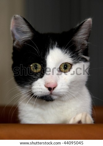 Curious black-white kitten sitting in a chair - stock photo