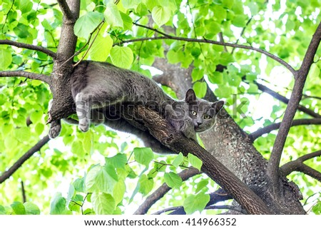 Curious  blue cat sitting high on a tree in relaxing pose. - stock photo