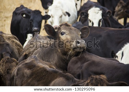 curious brown cow looks out from the herd - stock photo