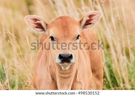 Curious calf coming out of the tall grass